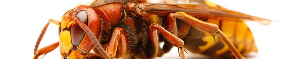 Permalink zu:Bienen, Wespen, Hornissen und co.